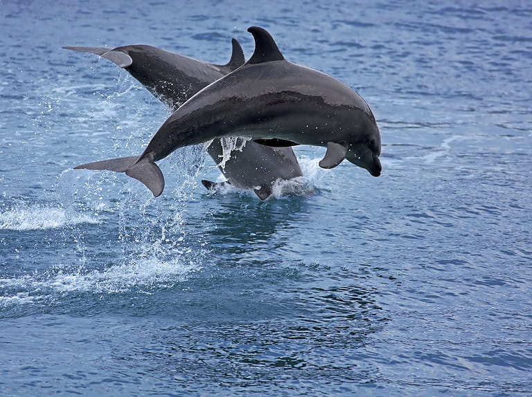 Bottlenose dolphins off the coast of Tenerife=