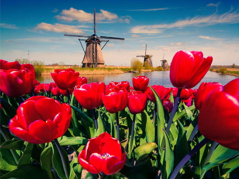 Dutch waterway in Holland with tulips and windmill alongside, European river cruises