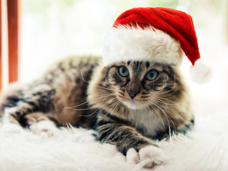 Iceland Christmas Cat