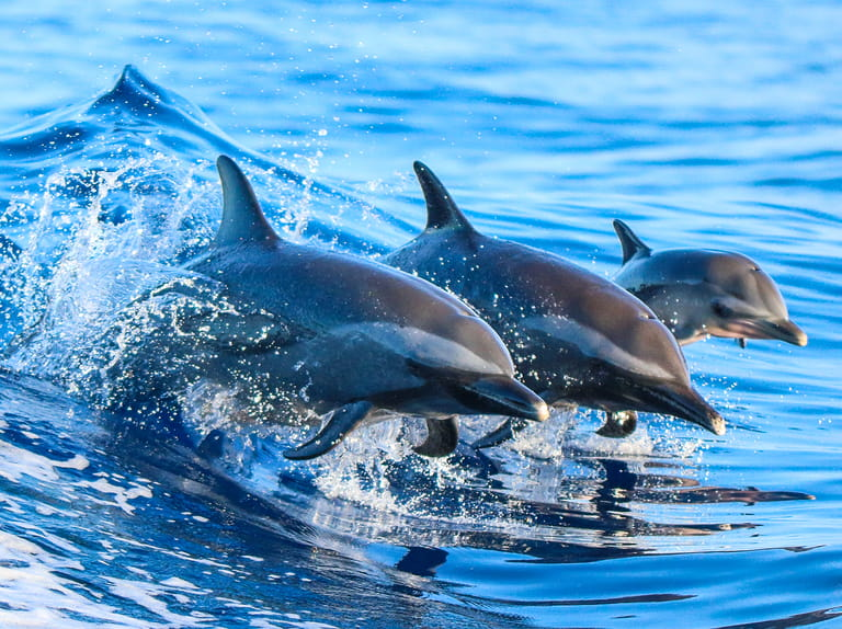 A spotted dolphin family leaping out of the clear blue water