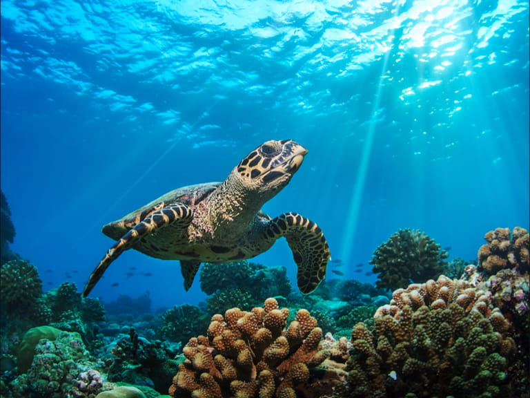 A turtle swimming in the Caribbean