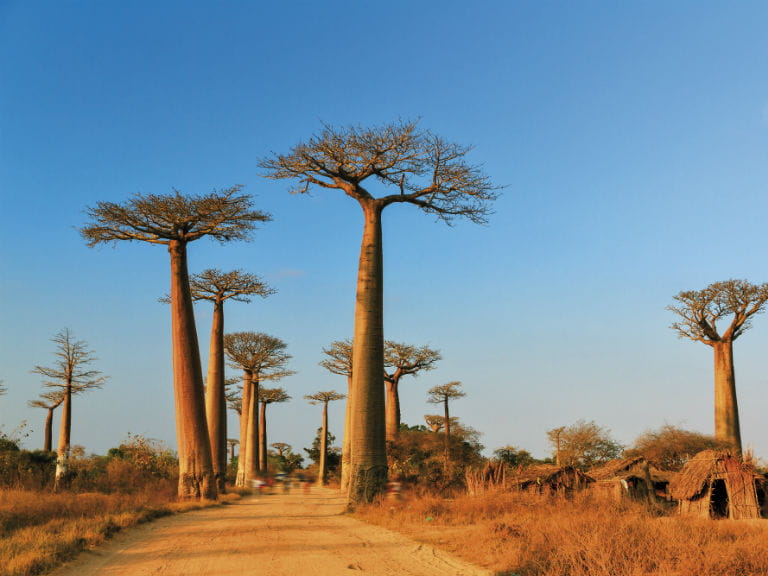 The Avenue of the Baobabs in western Madagascar