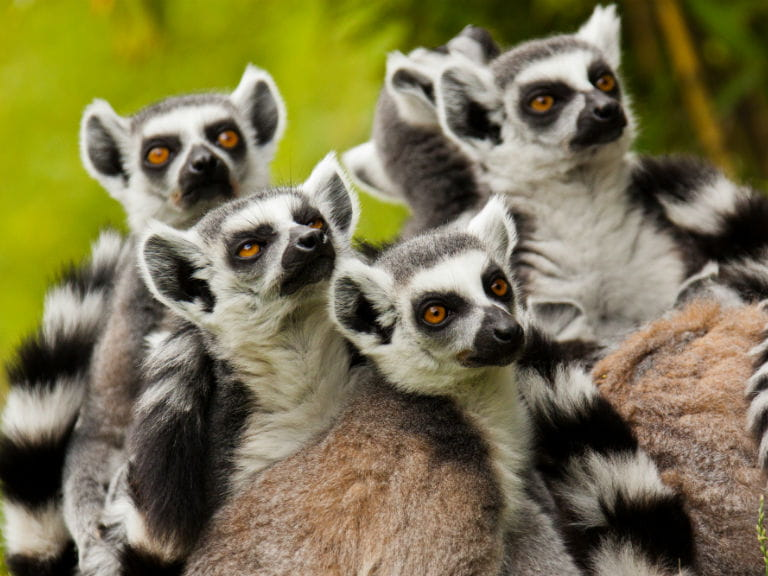 A troop of lemurs
