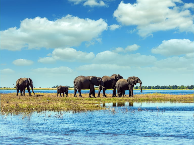 Chobe National Park in Botswana. Watering in the Okavango Delta. African elephants crossing river in shallow water.