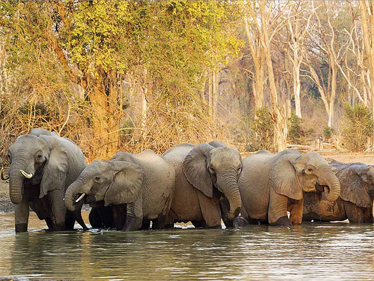 Herd of elephants in a river in Zimbabwe, Africa
