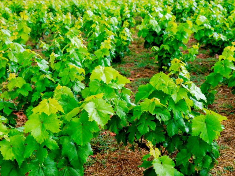 Vineyards in Corfu