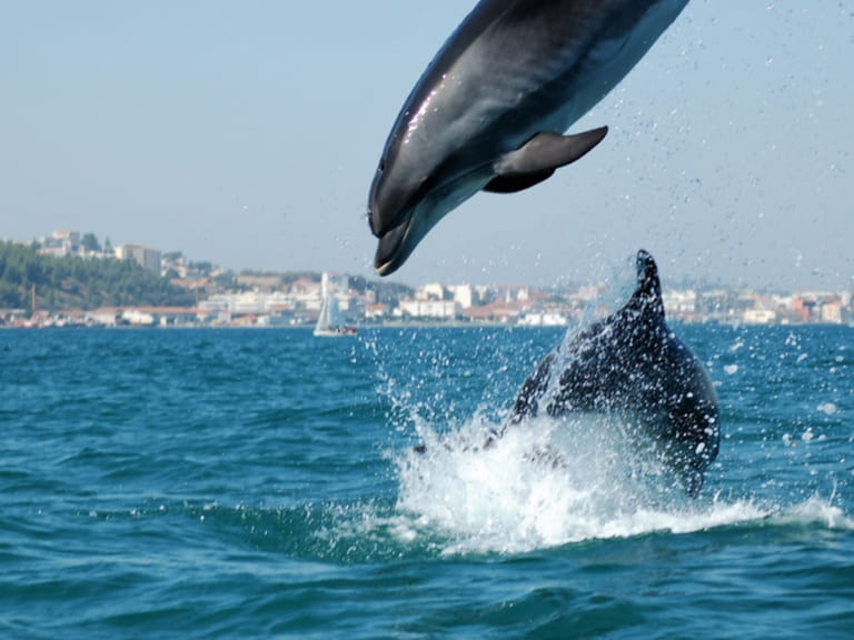 Dolphins swimming off the coast of Portugal
