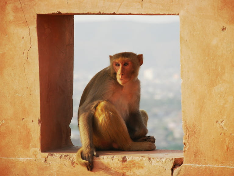 Monkey in Jaipur, India