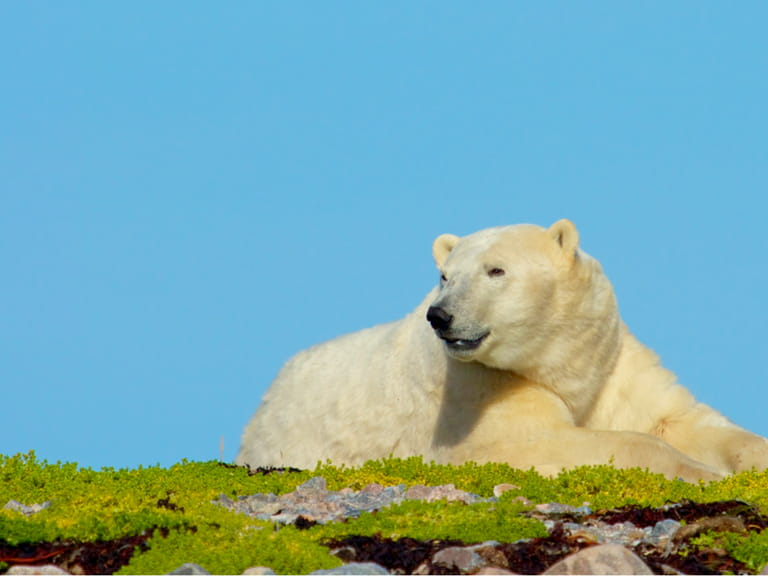Lazy Canadian Polar Bear wallowing, stretching and sleeping on a grass patch in the arctic tundra of the Hudson Bay near Churchill, Manitoba in summer