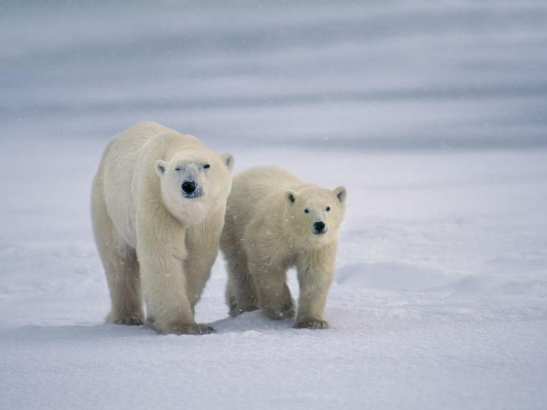 A polar bear mother with its cub