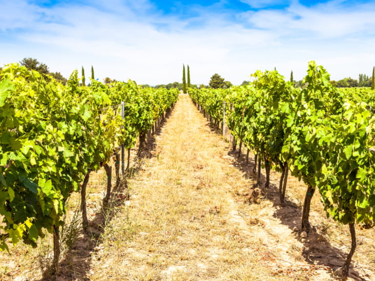 A vineyard in Provence