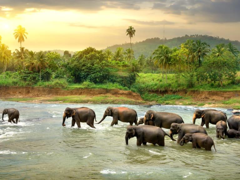 Elephants in river in Sri Lanka during the rain season