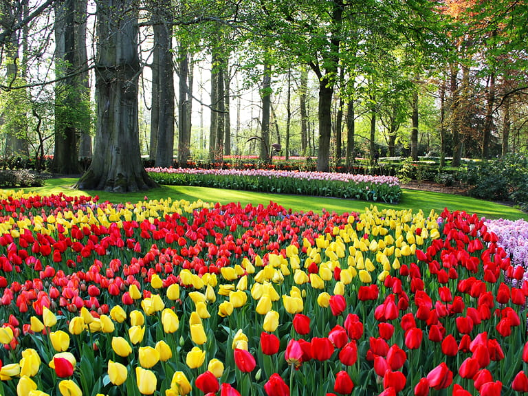 Tulips at the keukenhof gardens in Holland