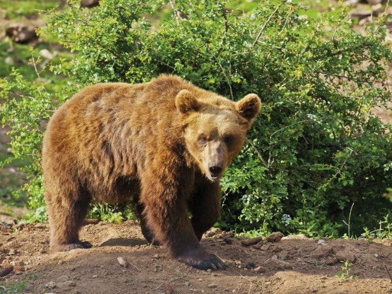 A Croatian brown bear